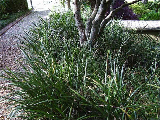 Liriope-muscari... Liriope Muscari Evergreen Giant