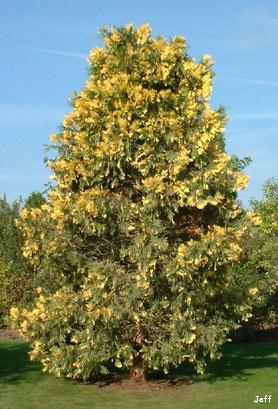 Calocedrus decurrens - plantas2